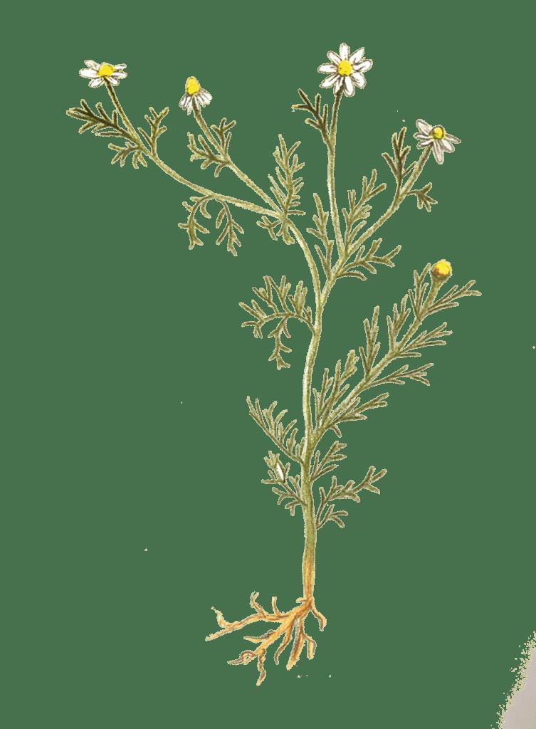 Kräuter Kamille